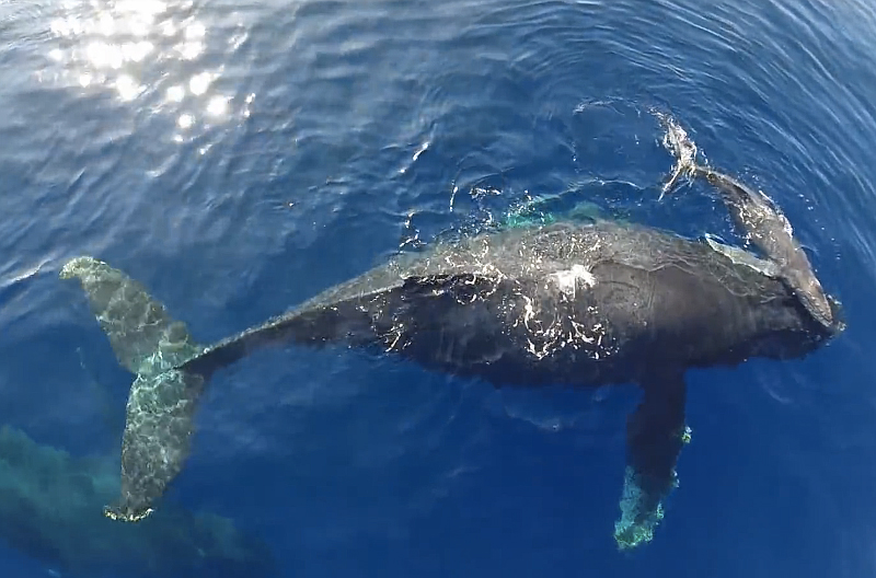 Dolphin Stampede Whale Snuggling Video Drone Provides